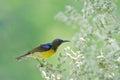 Brown-throated sunbird ,Beautiful bird perching on palm flower Royalty Free Stock Photo
