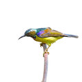 Brown throated sunbird a male is perching on branch anthreptes malacensis Royalty Free Stock Photos