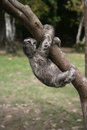 Brown throated three toed sloth bradypus variegatus youngster brazil Stock Image