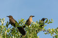 Brown thrush birds and black crow Royalty Free Stock Photo
