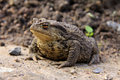 The brown Toad Stock Image