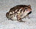 Brown Toad Royalty Free Stock Photo