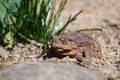 Brown toad in the garden female sunny spring czech republic Royalty Free Stock Photo