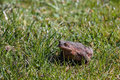 Brown toad in the garden female sunny spring czech republic Royalty Free Stock Images