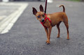 Brown toy terrier on the leash stands on the asphalt Royalty Free Stock Photo