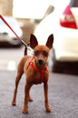 Brown toy terrier on the walk is standing street and looking in camera Royalty Free Stock Images