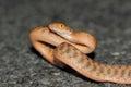 Brown tree snake (Boiga irregularis) a common species of snake from Australia Royalty Free Stock Photo