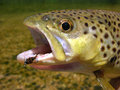 Brown trout Royalty Free Stock Photos