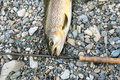 Brown Trout And Fly Rod