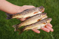 Brown trout hand with caught fish from the ambleve river in the belgian ardennes Royalty Free Stock Photography