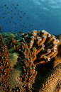 Brown tube coral Royalty Free Stock Photo