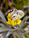 Brown-veined Butterfly Stock Image