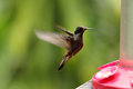 Brown Violetear Colibri delphinae Royalty Free Stock Photo