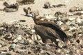 Brown vulture a eats bones in krugar national park south africa Stock Photos