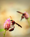 Brown wasps pollinating flowers in a field of beautiful flowers pink on summer day Royalty Free Stock Images