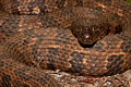 Brown water snake a very large coiled up in a threatening display Stock Photos