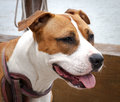 Brown and white american staffy happy staffordshire terrier waiting with tongue out Royalty Free Stock Photo