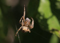 Brown white and black spider Royalty Free Stock Photo