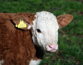 A brown and white calf with yellow ID tag Stock Photo