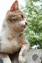 Brown and white cat sitting on a wooden fence Royalty Free Stock Image