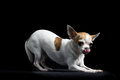 Brown and white chihuahua in black Royalty Free Stock Photo