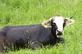 Brown and white Cow on spring meadow Royalty Free Stock Photo