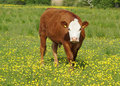 Brown and white cow in field with yellow flowers Royalty Free Stock Photos
