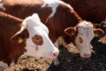 Brown white cows Royalty Free Stock Images