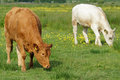 Brown and white cows in green field grazing Stock Image
