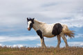Brown and White Horse with Blue Sky Royalty Free Stock Photo