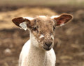 Brown and White Lamb with tags Royalty Free Stock Photo