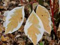 Brown and white leaves in autumn Royalty Free Stock Photo