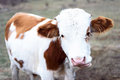 Brown and white little cow chewing Royalty Free Stock Photo