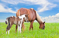 Brown white mare and foal with sky background a blue in a field of grass Royalty Free Stock Image