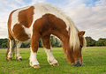 Brown and white pony grazing on grass Stock Image