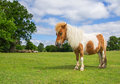 Brown and white pony in the new forest england Royalty Free Stock Photo