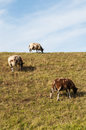 Brown and white sheep grazing on a dike. Royalty Free Stock Images