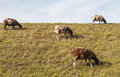Brown and white sheep grazing on a dike. Stock Photos
