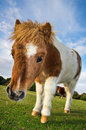 Brown and white shetland pony foal in the new forest england Royalty Free Stock Image