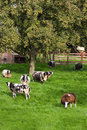 Brown and white spotted sheep and pear tree Royalty Free Stock Photo