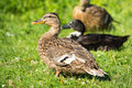 Brown wild duck anas platyrhynchos on green grass the mallard or is a dabbling which breeds throughout the temperate and Stock Photo