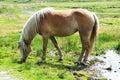 Brown wild horse grazing on pastureland in summer Royalty Free Stock Photo