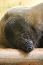 Brown woolly monkey the detail of Royalty Free Stock Image