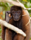 Brown Woolly Monkey portrait Royalty Free Stock Photos