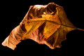 Brown yellow in a leaf abstract and the autumn Stock Photography
