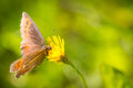 Brownish butterfly on a yellow flower close up of feeding Royalty Free Stock Image