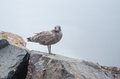Brownish coloured juvenile western x larus occidentalis x seagull standing atop of a rock on shore looking and waiting for Stock Image