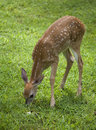 Browsing fawn Stock Photo