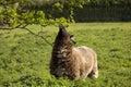 Browsing jacobs sheep 免版税库存图片