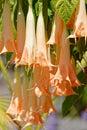Brugmansia Rafaella Angel`s trumpets, Isle Mainau Royalty Free Stock Photo